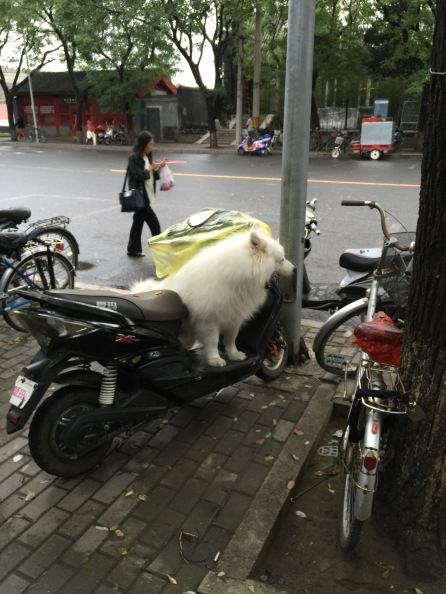 I was walking down a street near the Forbidden City in Beijing and this dog just hopped on the scooter as if he was waiting for his ride.