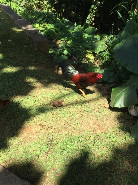 Rooster and chick El Yunque National Forest Puerto Rico Jan. 2017.
