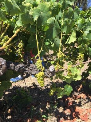 Future wine. Napa Valley 2016.