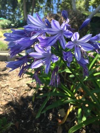 Purple Flowers CA 2016